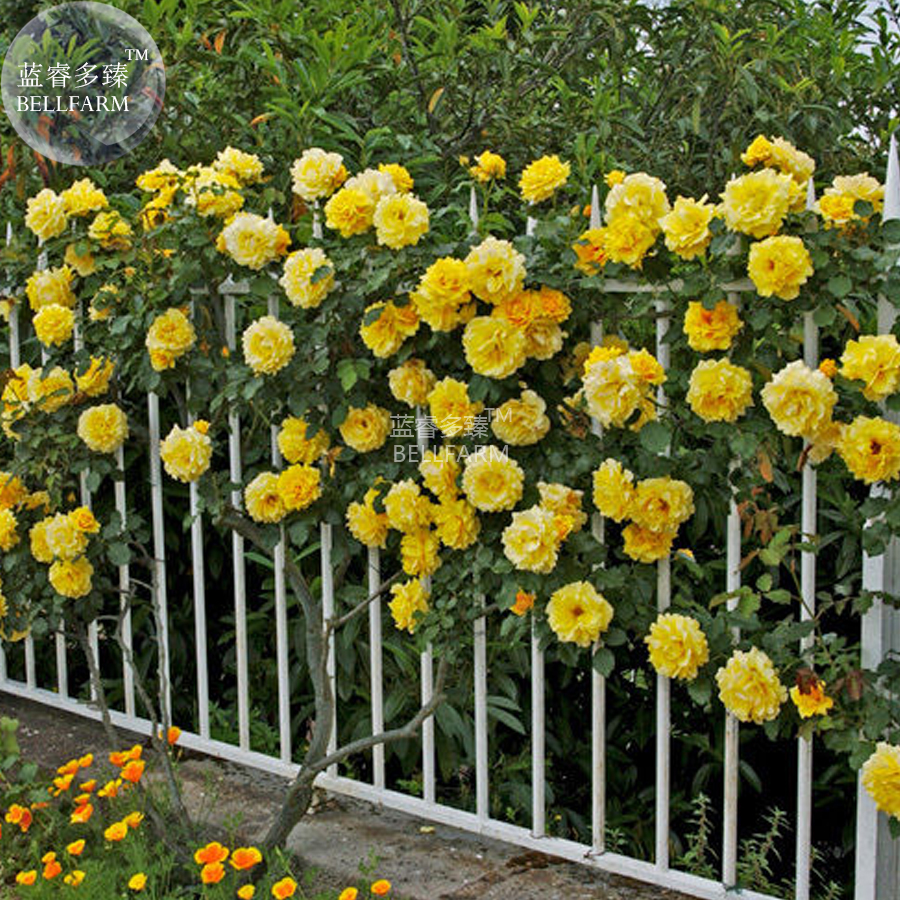 Bellfarm Rose Orangish Yellow Climbing Tree Plant Seed 50 Seed