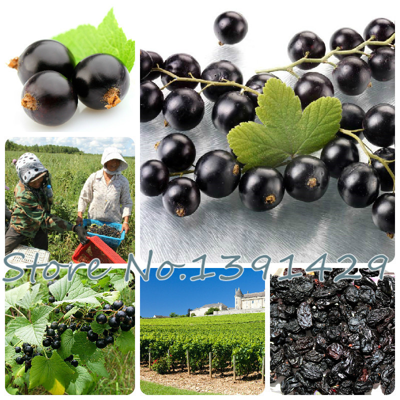 Free Shipping 100pcs Fruit seeds Black Currant Berry Bush Seeds