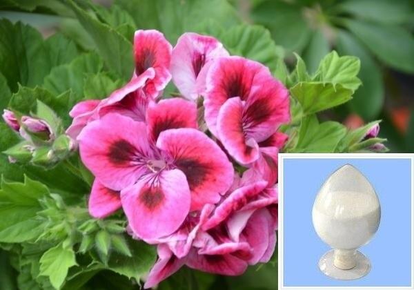 10g geranium extract dmaa/geranium extract/geranium extract powder