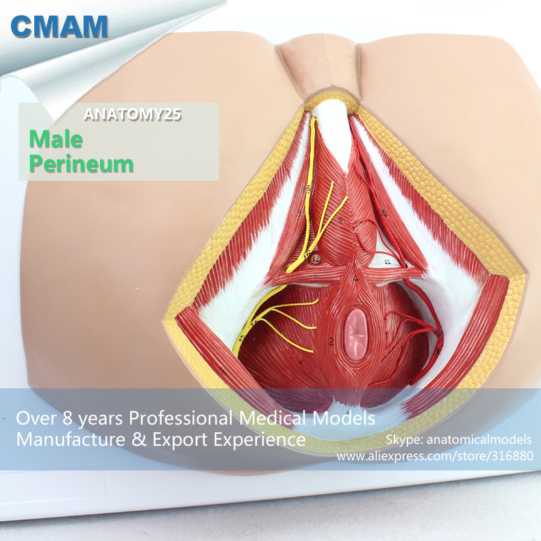 12463 Cmam Anatomy25 Life Size Anatomy Model Male Perineum On Board
