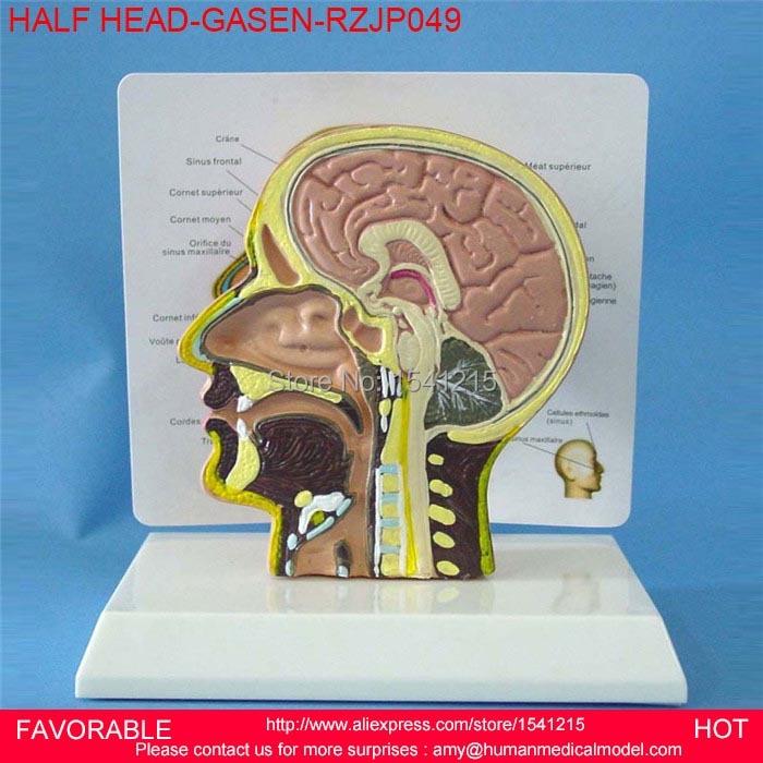 Human Brain Model Anatomy Models Brain Anatomical Model