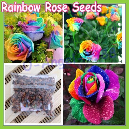 Image gallery order rainbow rose bush for Growing rainbow roses from seeds