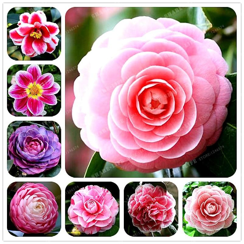 100% реальные Камелия Бонсай Комнатные цветы бонсай Indoor/растение открытого грунта доступны 24 цвета 2 частиц/Pack