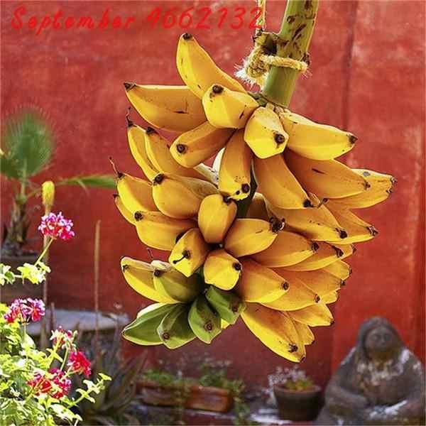 Лидер продаж! 50 шт. карликовый банан бонсай дерево, тропические фрукты дерево, Бонсай Балкон цветок для домашней посадки, легко растить