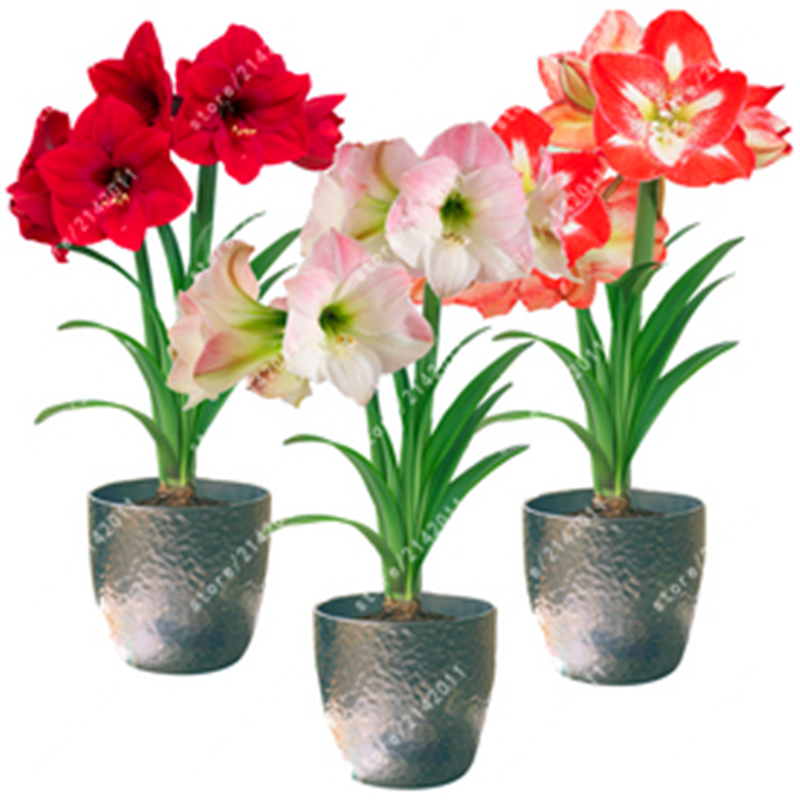 100pcs/bag Amaryllis bonsai Roof Terrace Garden Patio Garden  Barbados Lily Flower