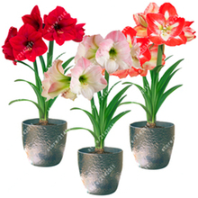 100pcs/bag Amaryllis Seeds Hippeastrum (not amaryllis bulbs) Roof Terrace Garden Patio  Barbados Lily Flower