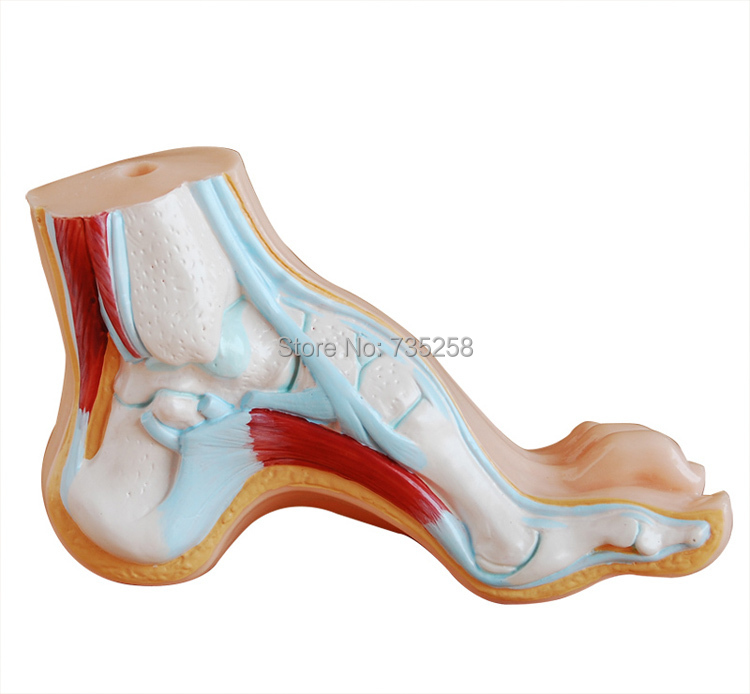 Normal Footflat Feetbow Footfoot Combined Anatomical Model In