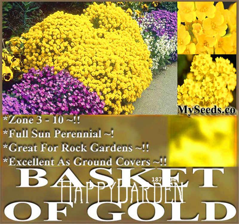 100 pcs UM Pacote de Promoção! cesta De Ouro Goldentuft bonsai, Ótimo Para O Jardim de Rocha, Hardy Perene No Frio da Zona Da planta Da Flor