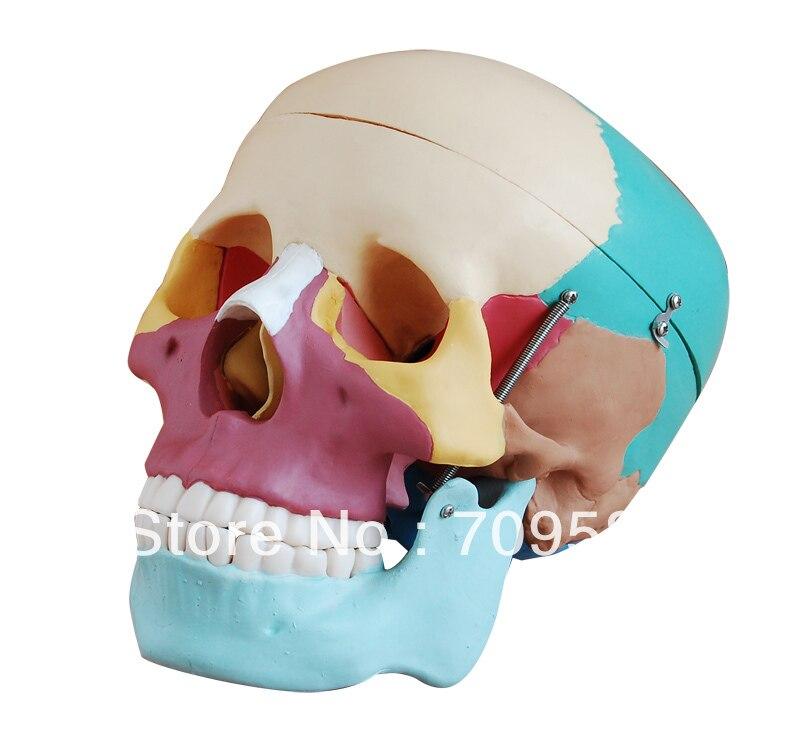 Modèle d'anatomie de crâne médical en plastique grandeur nature avancé