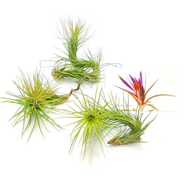 3 Funckiana Tillandsia Planta de Aire Terrario Decoraciones Plantas ...