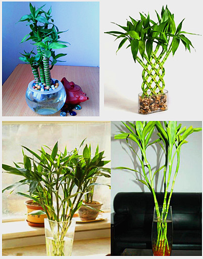 how to grow lucky bamboo from seeds