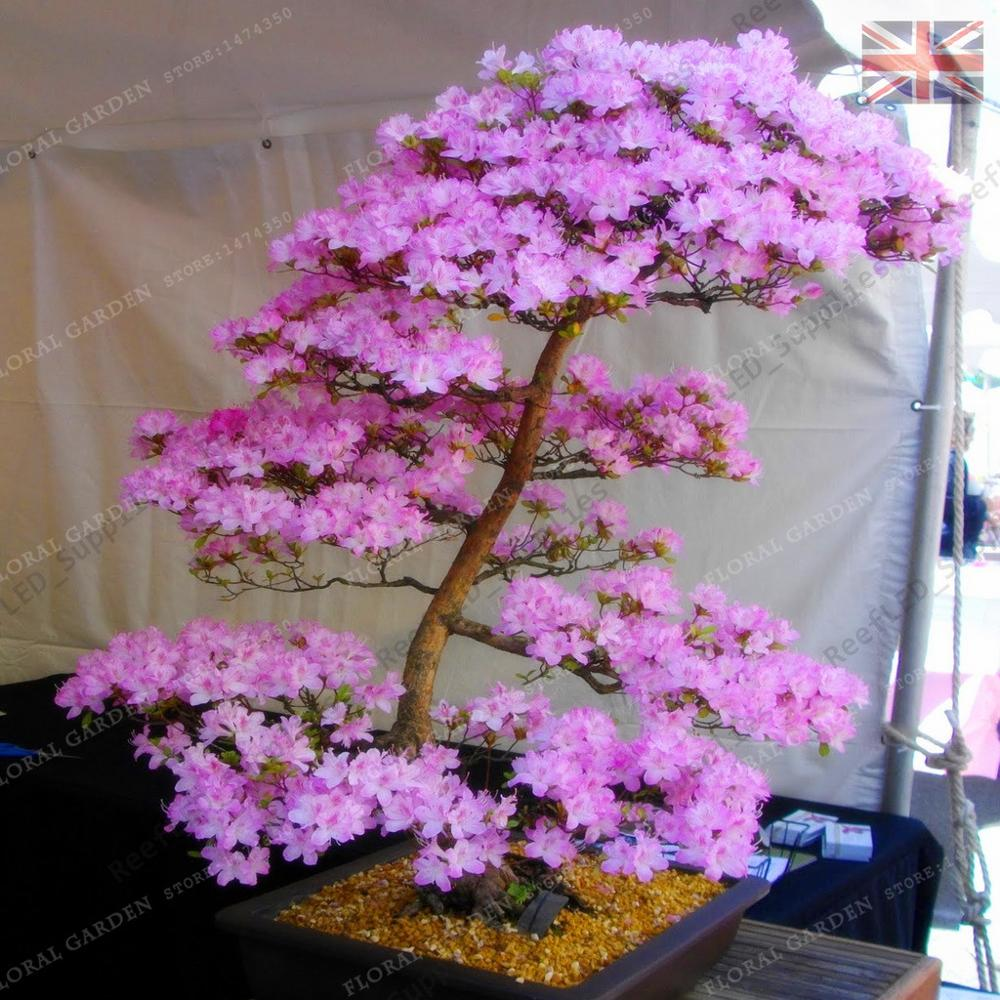 🛒 Bonsai Tree japanese Sakura plant Rare Japanese Cherry Blossoms
