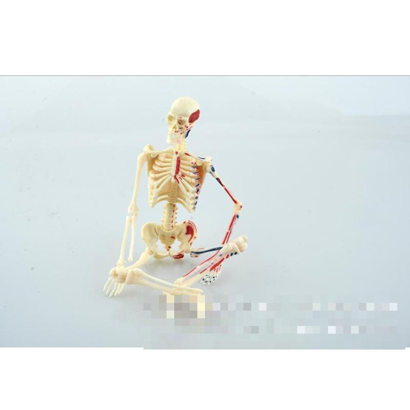 Teaching Resources Human skeleton model, medical anatomical model medical teaching model Plastic Human Skeleton Model teaching teenagers