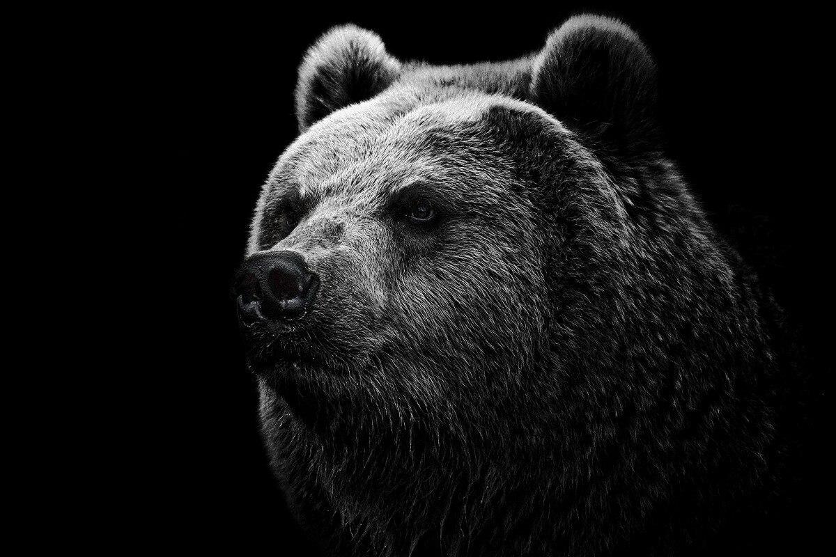 popular black bear background-buy cheap black bear background lots