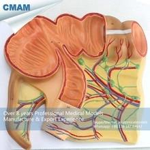 CMAM-VISCERA16 Anatomical Model of The Appendix