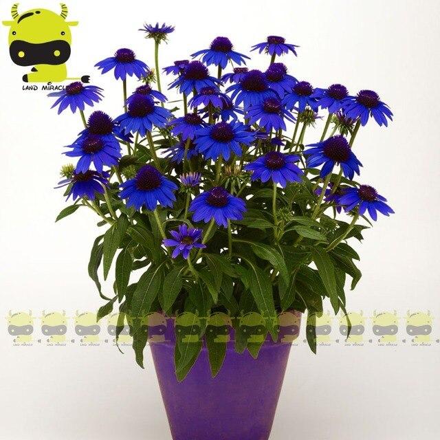 tennessee' sonnenhut blume echinacea purpurea samen, 20 samen/pack, Hause und Garten