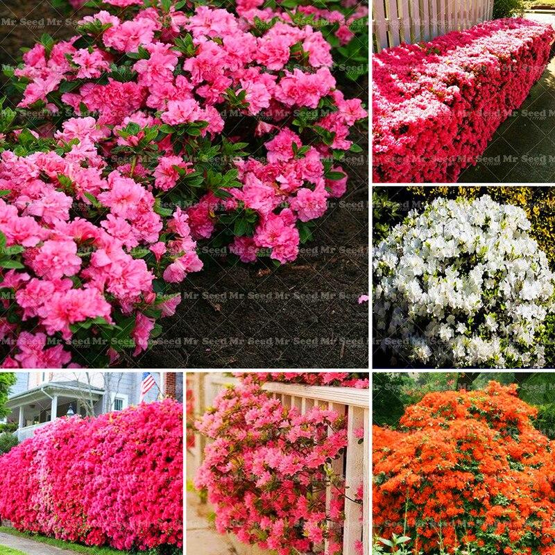 20pcs/bag Rare Japanese azalea seeds,rhododendron azalea,flower seeds tree seeds cover flower bonsai DIY plant home garden