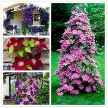 100pcs bag Clematis plants flower clematis vines bonsai flower perennial flowers climbing clematis plants for home