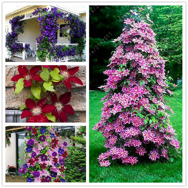 100pcsbag Clematis Plants Flower Clematis Vines Bonsai Flower