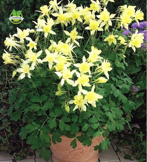 online get cheap columbine flower seeds aliexpress  alibaba, Beautiful flower