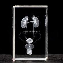 3 DStereoscopic クリスタルインナー彫刻男性泌尿器系解剖モデル医療教育用品や理想的なギフト 50x50 × 80 ミリメートル