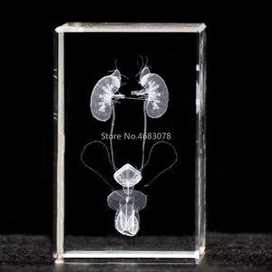 Image 1 - 3 système urinaire masculin en cristal stéréoscopique, sculpture intérieure, modèle anatomique pour fournitures denseignement médical ou cadeau idéal 50x50x80mm