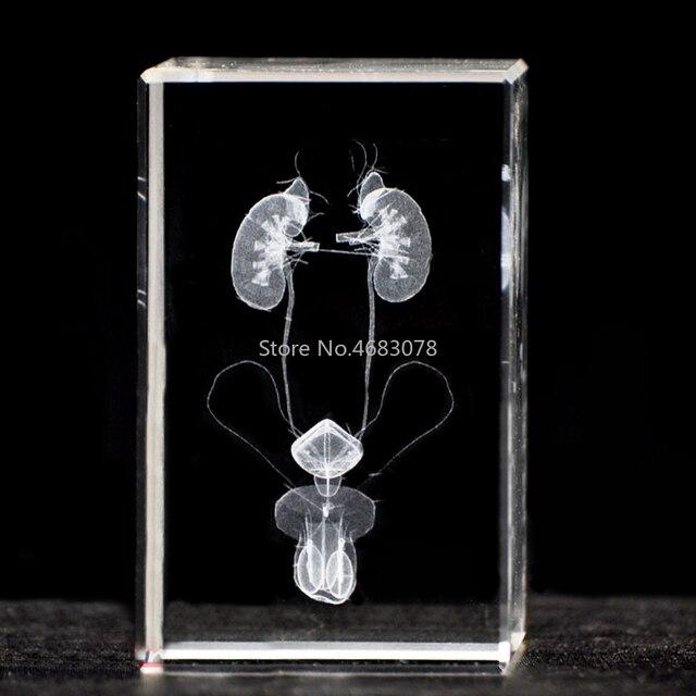 3 système urinaire masculin en cristal stéréoscopique, sculpture intérieure, modèle anatomique pour fournitures denseignement médical ou cadeau idéal 50x50x80mm