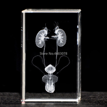 3DStereoscopic كريستال نحت الداخلية الذكور الجهاز البولي نموذج تشريحي للوازم التدريس الطبي أو هدية مثالية 50x50x80 مللي متر