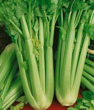 Heirloom Celery Seeds – Utah Tall – Herb Seeds,Non-gmo Herb Seeds 400 seeds
