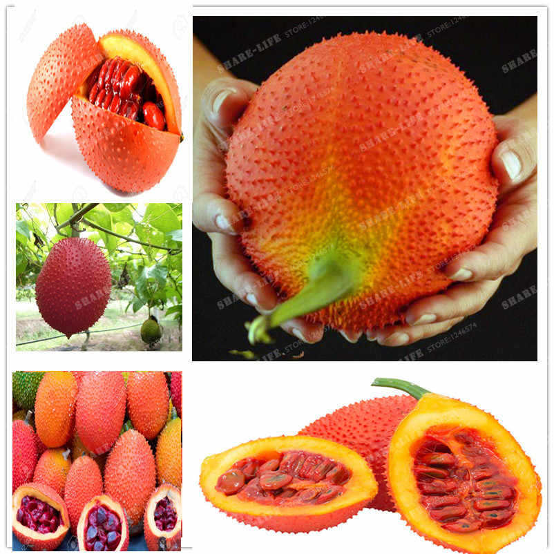 New 10 PCS/bag Gac Fruit Bonsai Momordica Cochinchinensis Bonsai Spreng Cochinchin Gourd Non-GMO Fruit  Plant for home Fruit