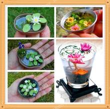 Buy  bonsai plant for home garden 10 seeds/PACK  online