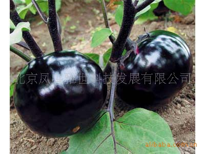 Пекинские баклажаны круглые органические овощи bonsais баклажаны bonsais 100 шт.