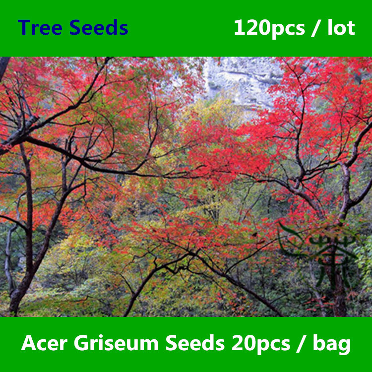 ^^Deciduous Tree Excellent Acer Griseum ^^^^ 120pcs, Ornamental Plant Paperbark Maple ^^^^, Family Sapindaceae Xue Pi Feng ^^^^