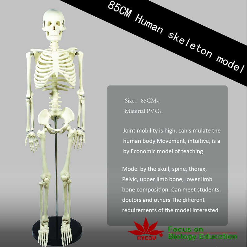 Medical teaching supplies Anatomy 85cm high half size human skeleton model
