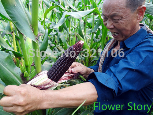 100 Sweet Giant Black Mexican Corn Seeds (Black Iroquois Corn) Rich ...