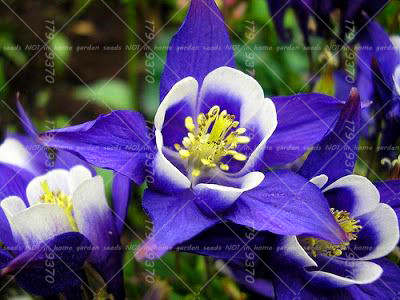 columbine flowers facts and growing tips the spruce - 960×720
