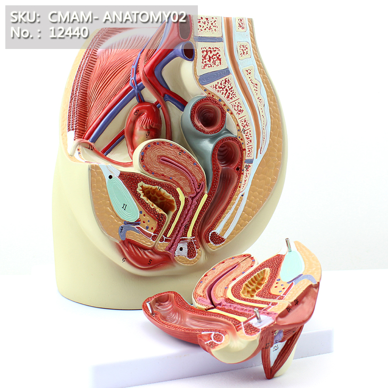 CMAM/12440 Pelvi Femminile-3 Parti, Genito-urinario Insegnamento Medico Modello AnatomicoCMAM/12440 Pelvi Femminile-3 Parti, Genito-urinario Insegnamento Medico Modello Anatomico