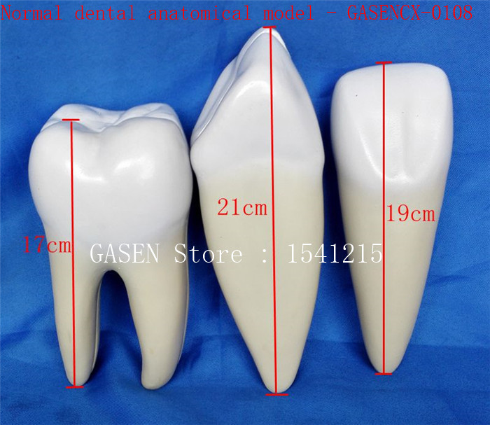 Oral care model Tooth model Teaching model Dental teaching model Normal dental anatomical model - GASENCX-0108 dental removable dental model dental tooth arrangement practice model with screw teaching simulation model oral materials
