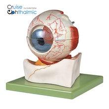 Глазное яблоко 5X анатомическая модель показывает роговицу, ирис, линзы и Стекловидное тело | Премиум качество модель глазного яблока, глаз анатомическая модель