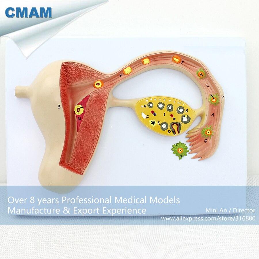 CMAM-ANATOMY16 Human Body Fertilized Egg Education Model lego education 9689 простые механизмы