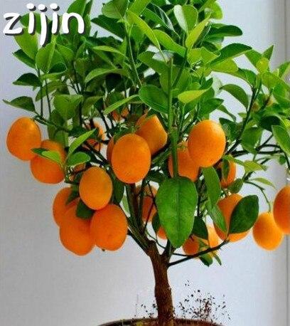 20 piezas bonsái naranja en maceta comestible tangerina cítricos fruta enana naranja árbol planta de Interior para plantas de jardín del hogar