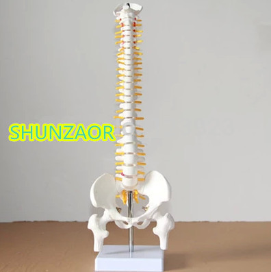 spinal column model 45cm Sitting Posture Model for Medical Rehabilitation Training, Human Spine Model Teaching root cervical spine root thoracic vertebrae root lumbar spine sacral coccyx human spinal spine model gasenxx 008 d