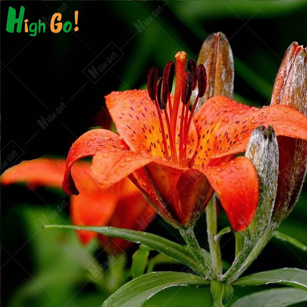 Ture Lily Bulbs Color Garden Suppliesorangebao Flower Seeds Bonsai