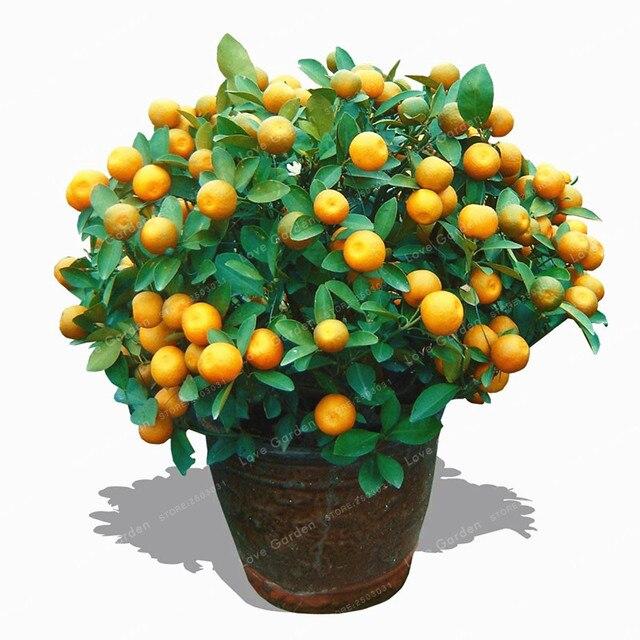 Lieblings Citrus Mitis Bonsai 20 teile/beutel Citrus Baum Bonsai Obst Bonsai #KT_46