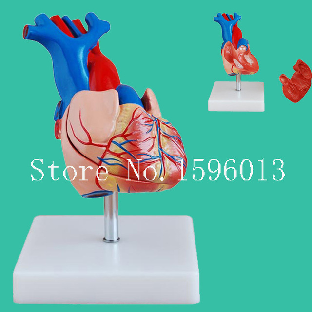 Life Size Human Heart Model 2 Parts Anatomical Heart Model In
