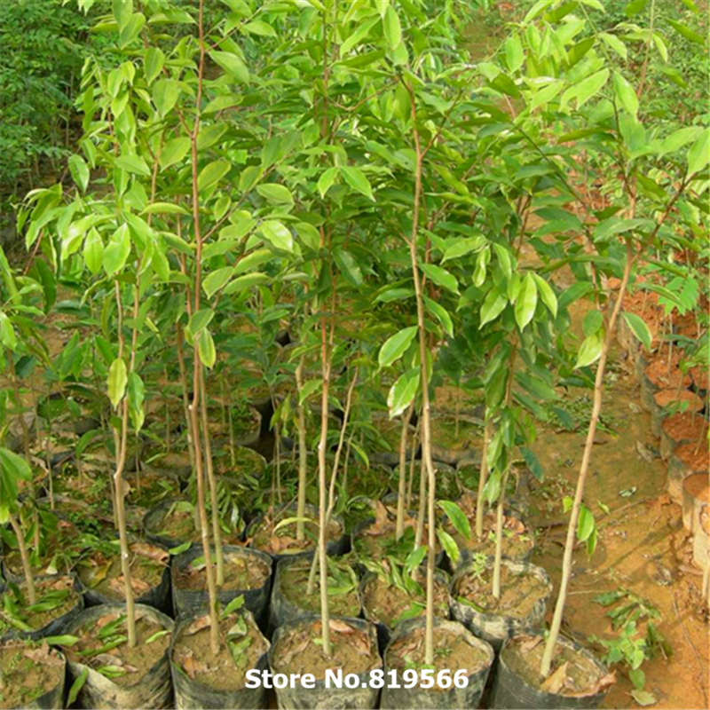 Real Chinese Rare Scented Rosewood Tree Seeds Dalbergia Odorifera
