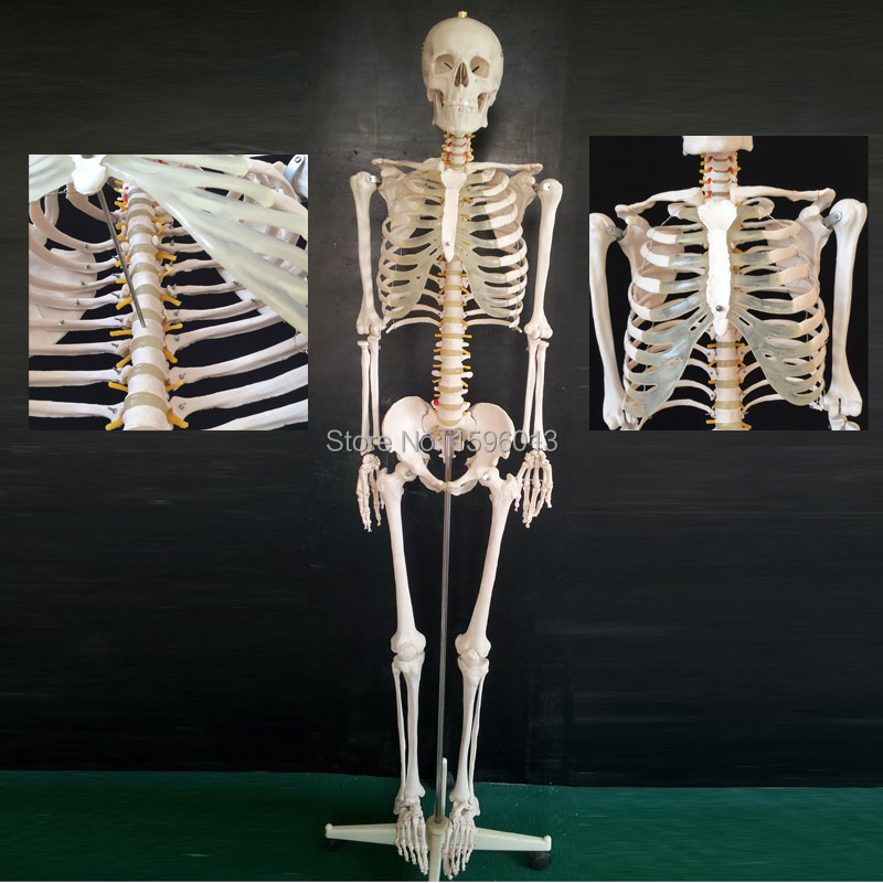 HOT Life-Size Skeleton Model 180cm Tall, human skeleton model skeleton with muscles and ligaments 180cm tall the human skeleton with ligament model