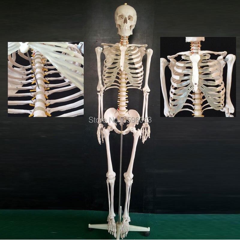 Modelo de esqueleto de tamaño real de 180 cm de altura, modelo de esqueleto humano
