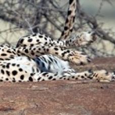 Cheetah (Acinonyx jubatus) resting in a forest  Samburu National Park  Rift Valley Province  Kenya Poster