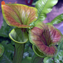 Cheap Bonsai Nepenthes Seeds Eating Mosquito Varieties of Plants Seed  50 Particles / lot